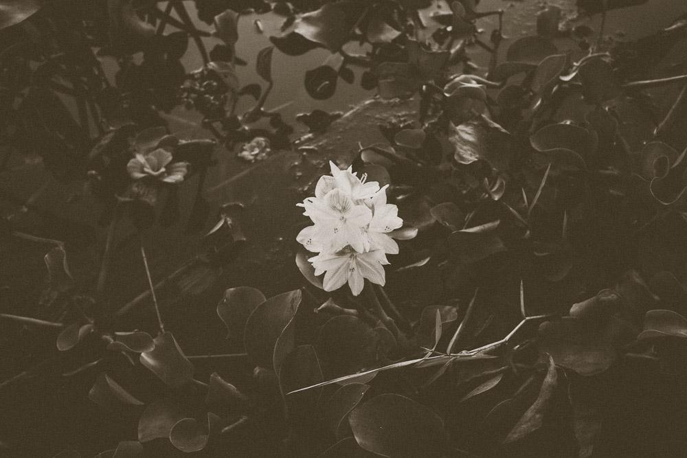 Water hyacinth flower