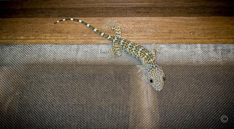 Gecko, my room mate