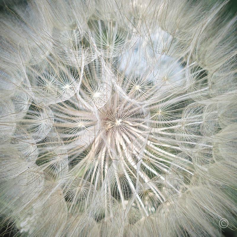 Nature Patterns: Dandelion Close-Up