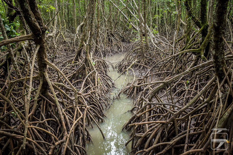 Koh Chang Mangrove Forest