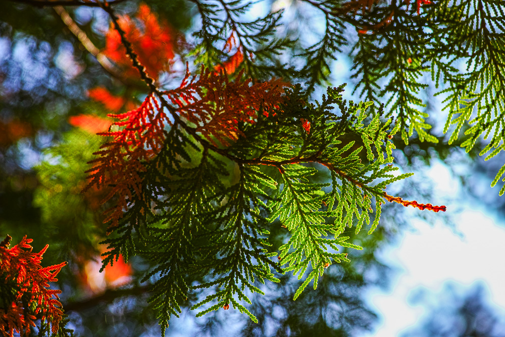 Green and read conifer leaves