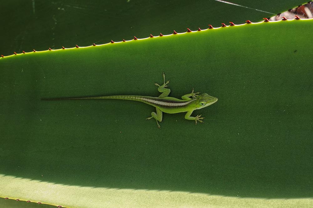 Cuba lizard - close up nature