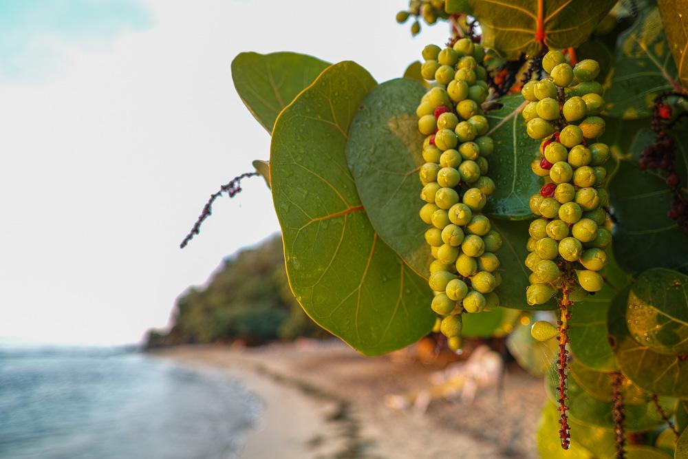 Beach grapes - close up nature