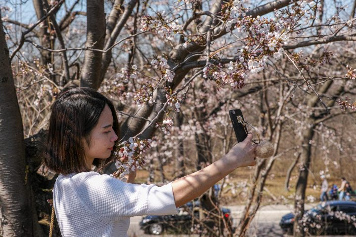 Cherry blossoms selfie