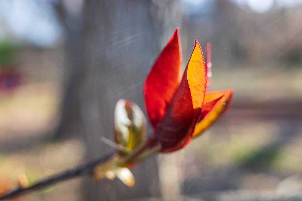 Red and orange bud in the sun