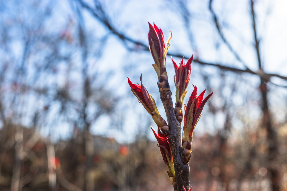 Red buds in the sun