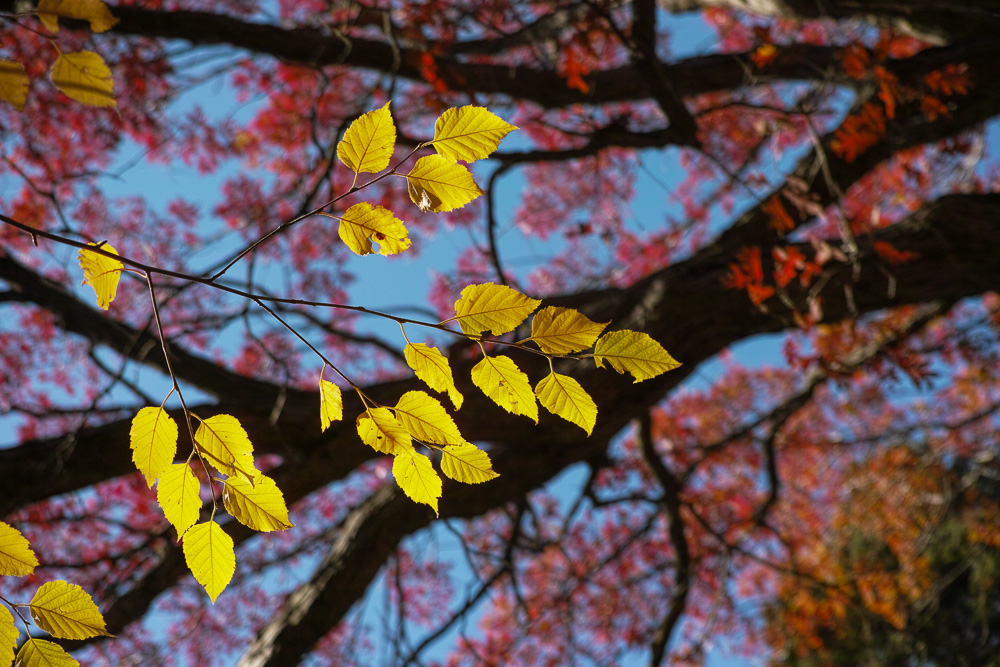 Shiny yellow leaves on dark background